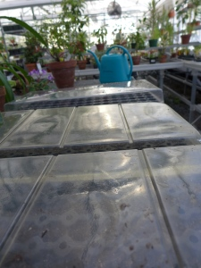 Each tray is covered.  Now we have mini greenhouses in the greenhouse.