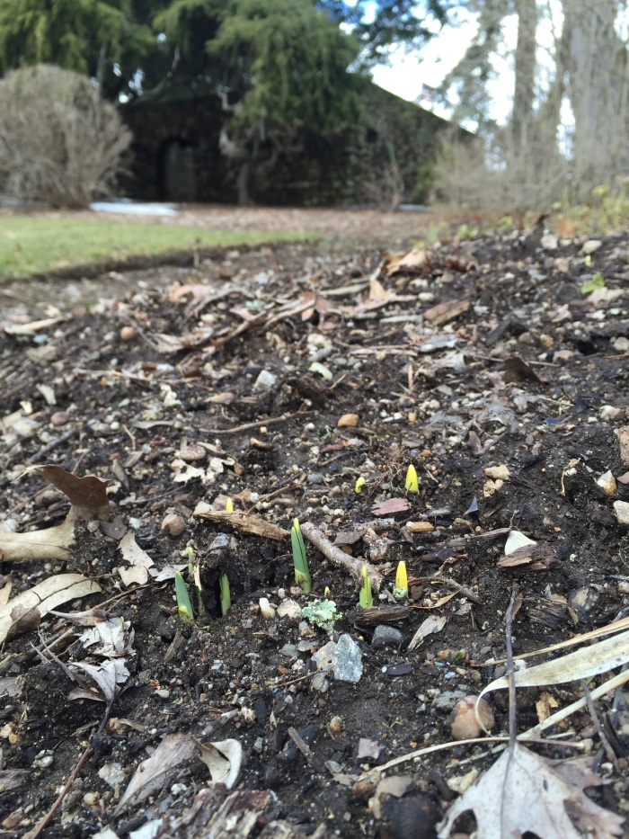 These little yellow tips are signs of those daffodils our mushrooms planted in the Fall!  We'll have some plants in the classroom to help us imagine what this new growth will be.