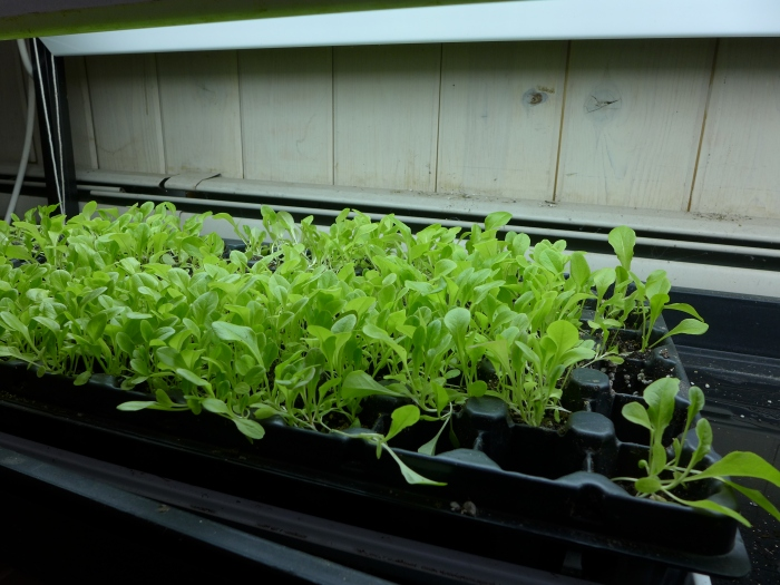 So we planted and nurtured hundreds of lettuce seeds for Green Schools.