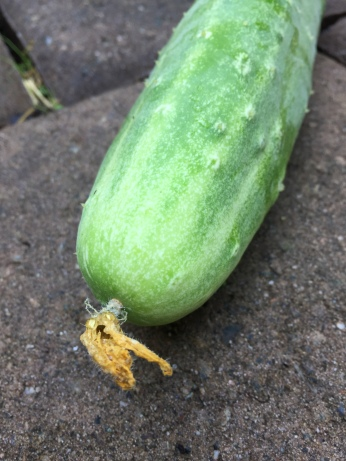 Q. How has this one fruit connected to toddlers and caregivers, preschoolers, summer school students, student interns, GEC volunteers, and our neighborhood pantry? A. It's just a really cool fruit! TRUE or FALSE? The inside of a cucumber can actually be up to 20 degrees F cooler than the outside temperature.