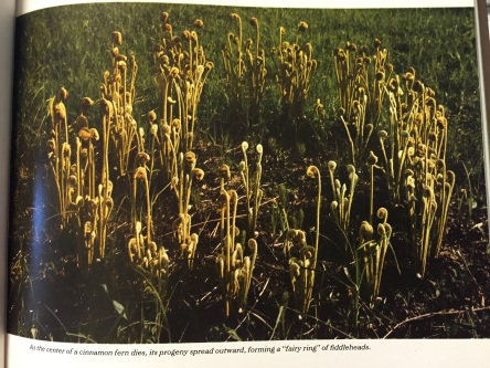 "From our Encyclopedia of Gardening: A ""Fairy Ring"" of Fern Fiddleheads"